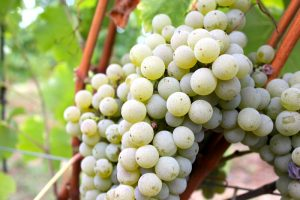 grape-blanc-vendeange-2016