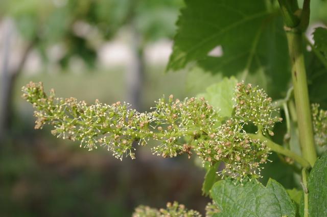 floraison-vigne-saine-hve