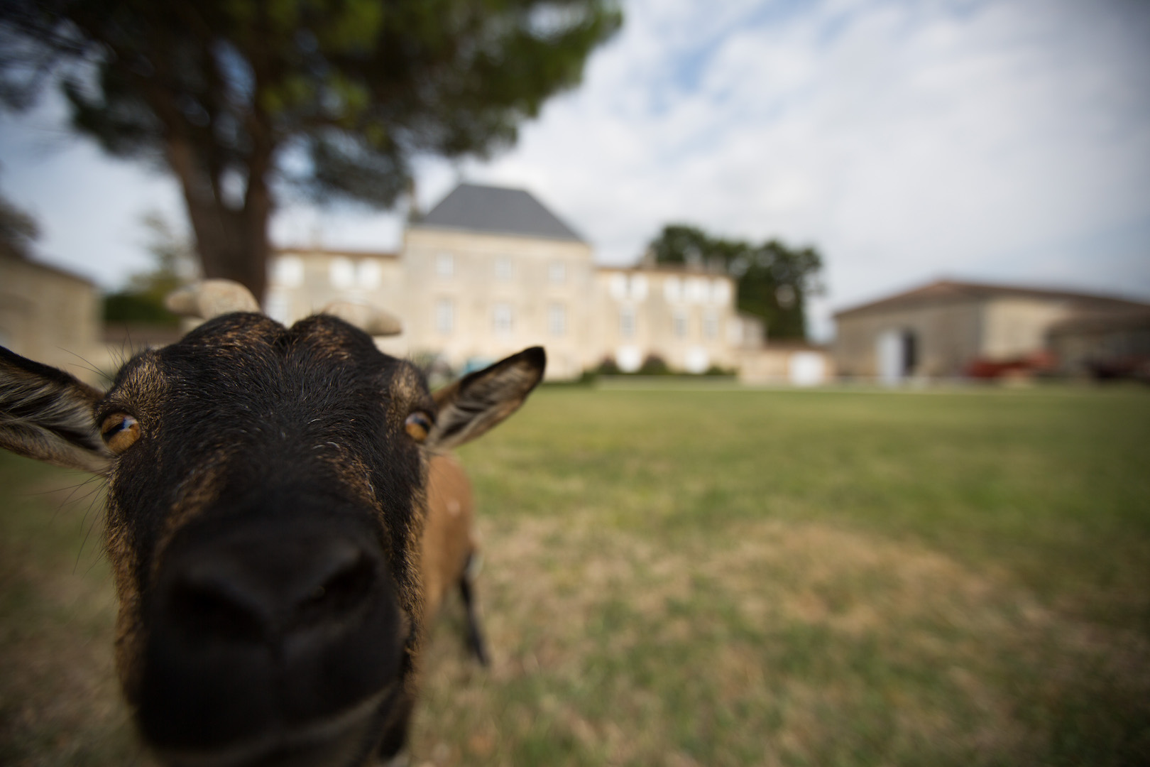 chateau-des-arras-cuvee-Rhéa-bordeaux-wine-goat
